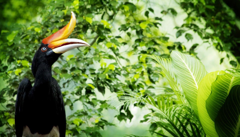Malasia - Hornbill, Malaysia