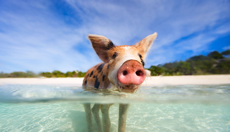Bahamas - Pig, Bahamas