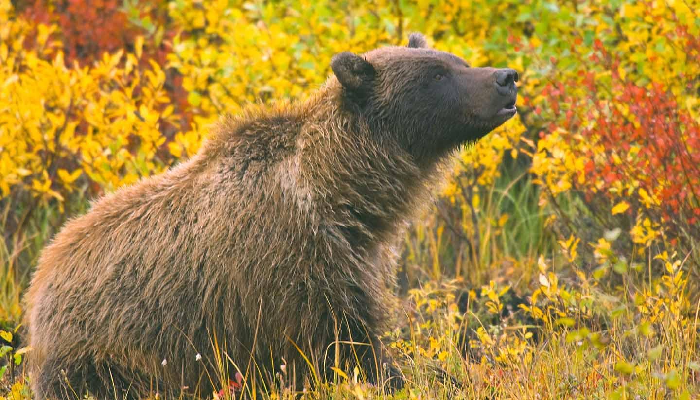 Canadá - Grizzly Bear Yukon Territory, Canada