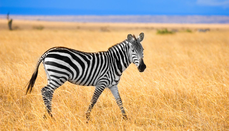 Kenia - Zebra at Masai Mara, Kenya