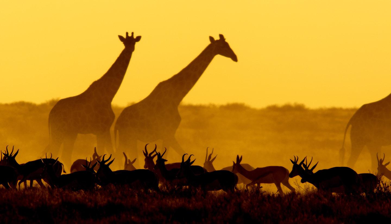Namibia - Giraffes at Etosha National Park, Namibia