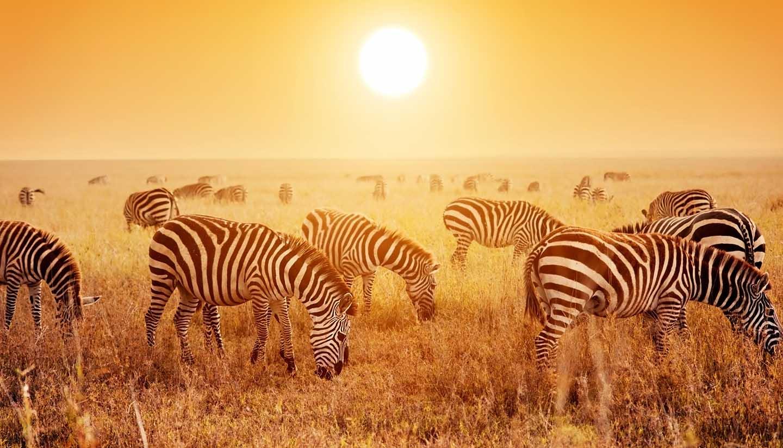 Tanzania - Zebras at Safari in Serengeti, Tanzania