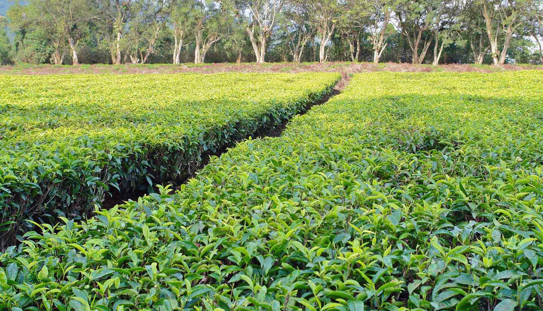 Uganda - Tea Plantation, Uganda