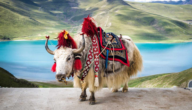 Tibet - Yak in Tibet
