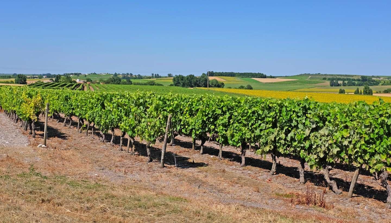 Francia - shu-France-PineauGrapes-CognacRegion-296516930-Annavee-1440x823