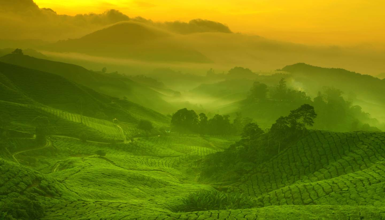 Malasia - Tea plantation, Cameron Highlands, Malaysia