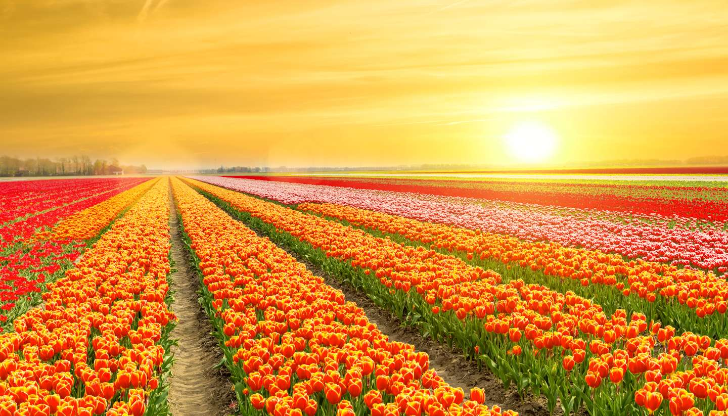 Holanda - Tulips in the Netherlands