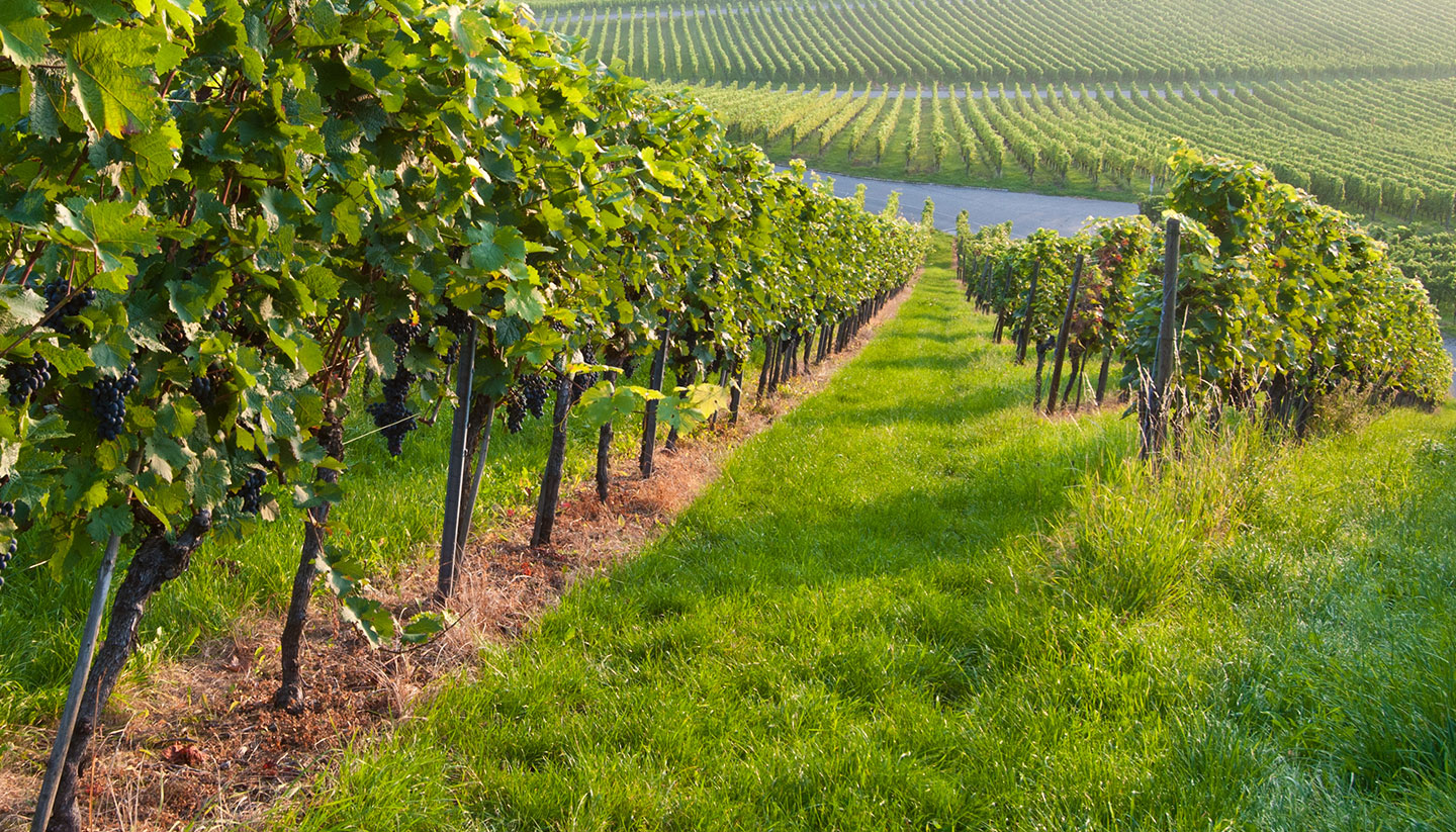 Alemania - Vineyard in Germany